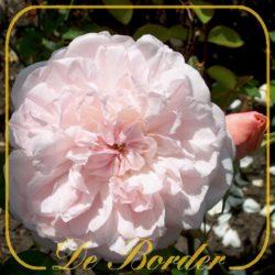 Botanische rozen