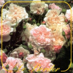centifolia rozen